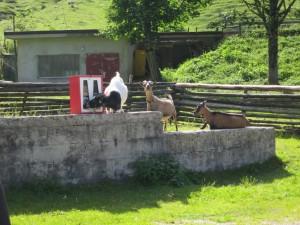 Die Ziege zieht sich ´n Kaugummi!